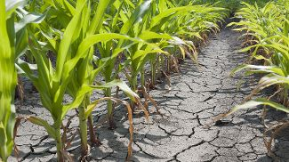 Parched ground in a cornfield during a drought