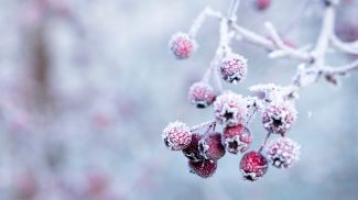 Hawthorn berries in a frost. Photo Galina N